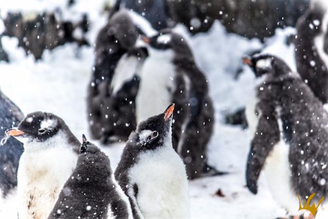 Antartida Pinguinos