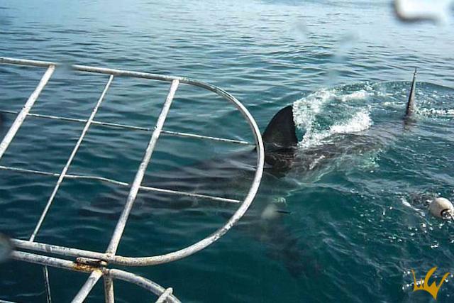 Gansbaii Gran Tiburon Blanco