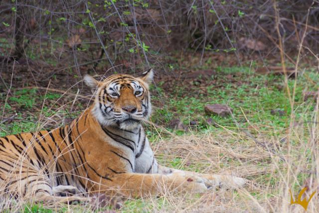 Ranthambore Park Tigre Bengala
