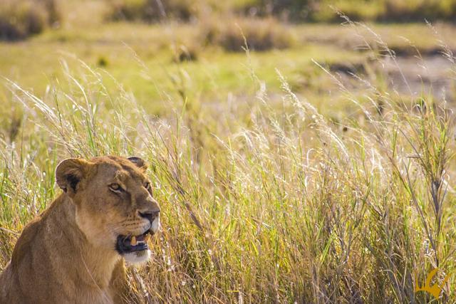 Serengueti Leona