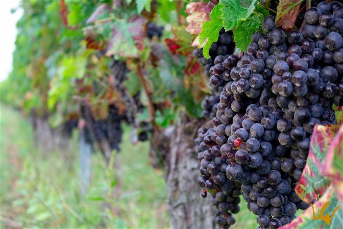 Burdeos viñedos